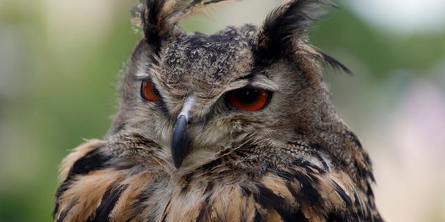 Oehoe-uil doodgereden bij Lauwerzijl