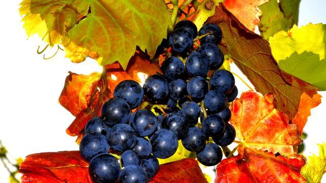 Wijnproductie zeer laag door weerschade