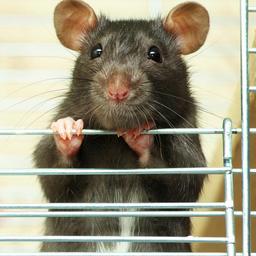 'Pest werd niet verspreid door ratten, maar door mensen zelf'