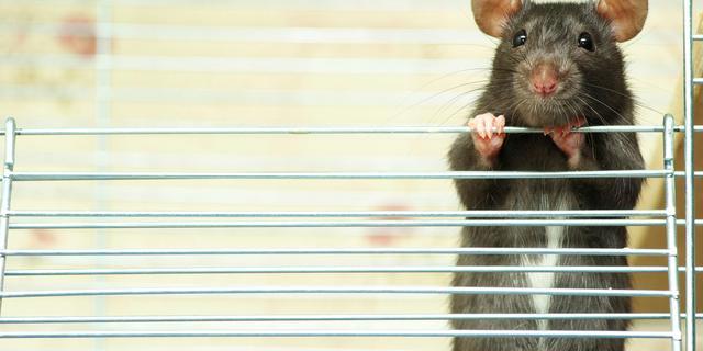 'Ratten gebruiken snorharen als vingers'