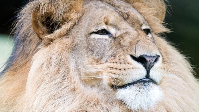 'Aantal leeuwen in Afrika zal binnen 20 jaar halveren'
