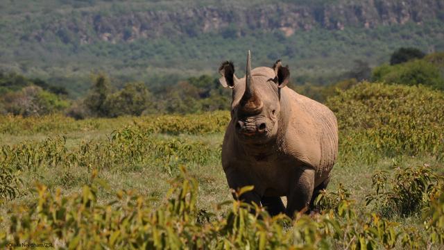 Zuid-Afrika evacueert honderden neushoorns uit Krugerpark