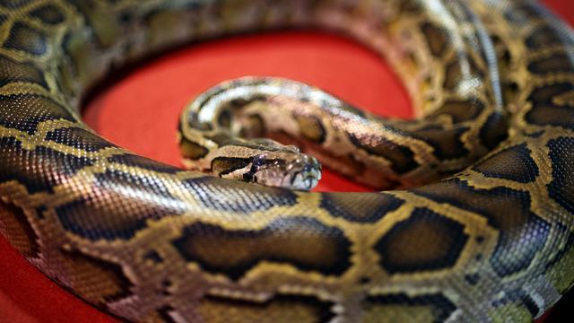 'Python zwelt razendsnel op tijdens eten door specifieke genen'