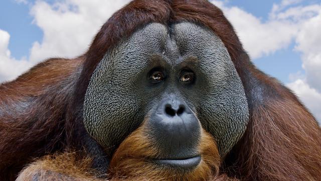 Orang-oetan die gebarentaal leerde overleden