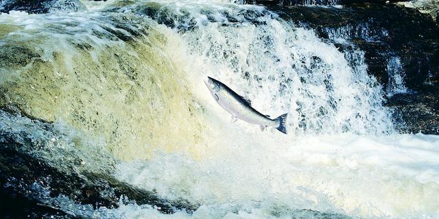 Riviervissen gaan in dramatisch tempo achteruit, onder meer door dammen