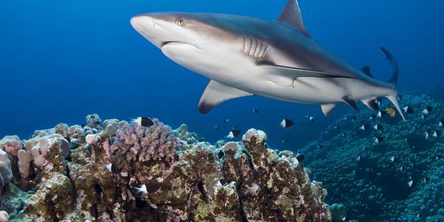 Nieuwe software herkent haaien aan rugvin