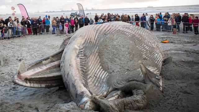 Dode vinvis aangespoeld voor de kust van Den Helder