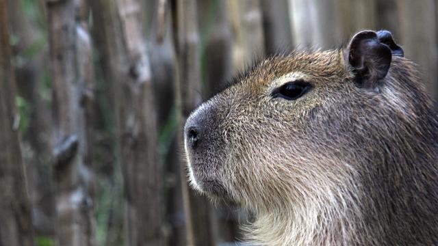 Waterschap doodt per ongeluk capibara