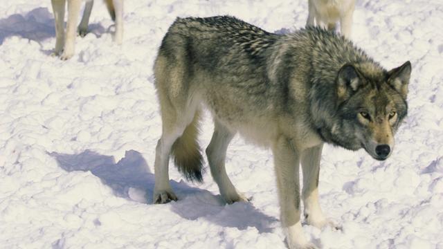 'Moderne mens en tamme wolf hielpen elkaar tijdens jacht'