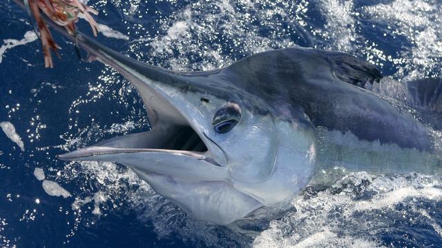 16-jarige Australische tiener vangt zwaardvis van 263 kilo