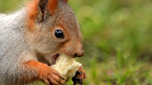 Eekhoorn-criticus belandt in ziekenhuis na aanvaring met knaagdier