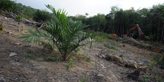 Diervoederindustrie doet te weinig aan verduurzaming palmolie