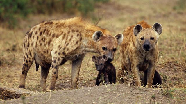 Hyena's hebben vrienden en kennissen