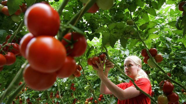 'Tomaten verlagen risico op prostaatkanker'