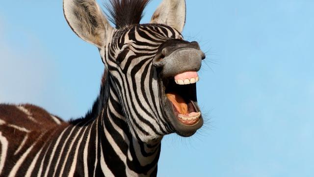 Zebra's hebben strepen om landende vliegen te dwarsbomen