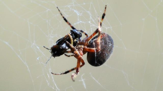 Belangrijke genen van spinnen in kaart gebracht