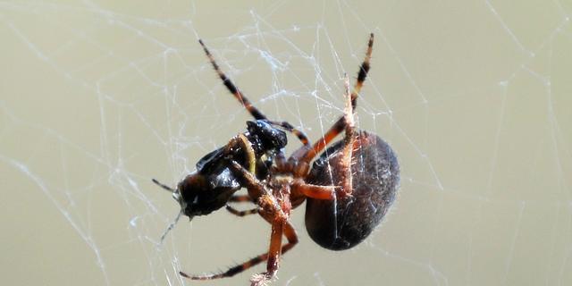 Australiërs bellen politie om luidruchtige buurman die spin doodslaat