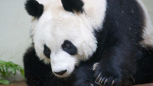 Chinese jagers vast voor doden panda