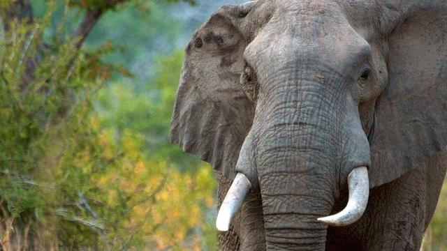 Jonge olifant baart meer en sterft eerder