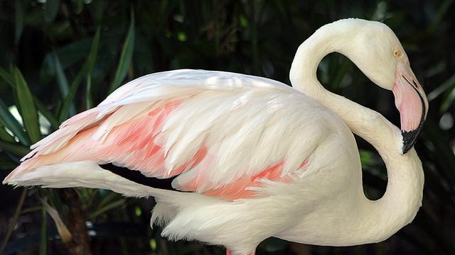 Oudste flamingo ter wereld overleden