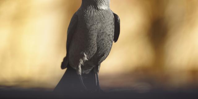 Zieke kauwen uit vogelopvang Haarlem weer gezond