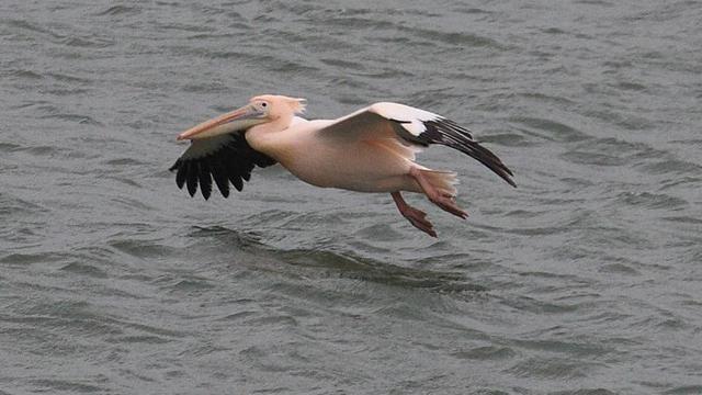 Ontsnapte pelikaan Artis weer gevangen