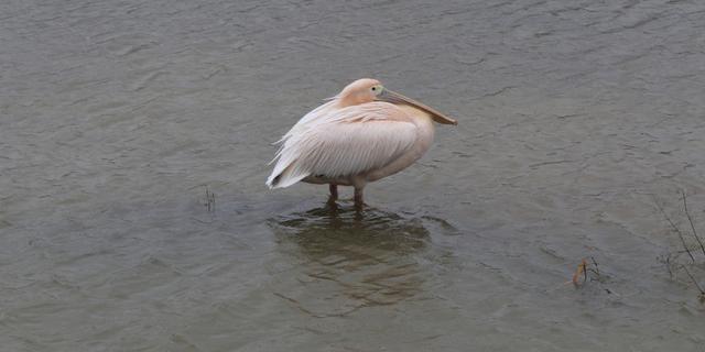 Inbraak veroorzaakt dood roze pelikaan in Artis