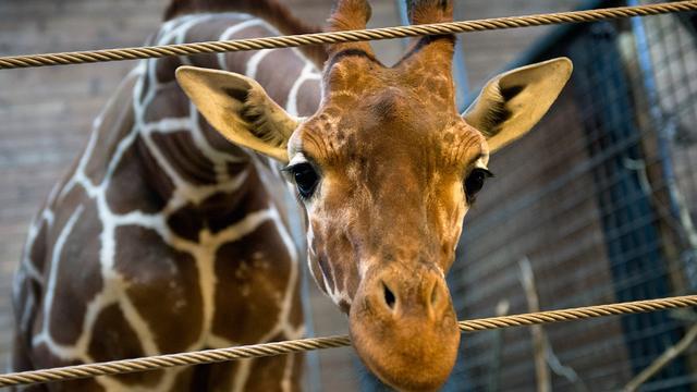 Dierentuin doodt giraffe Kopenhagen wegens risico inteelt