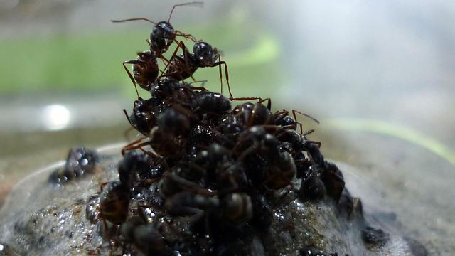 Voedselzoekende mier steekt neus in de wind