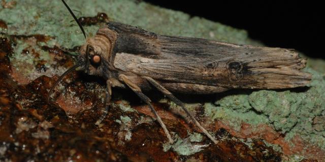 Zeer zeldzame nachtvlinder gezien in Nederland