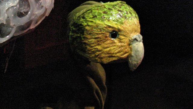 Bedreigde papegaai uit gelijmd ei