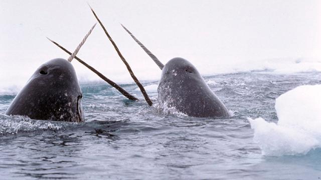 Wandelaars vinden arctische tandwalvis in België