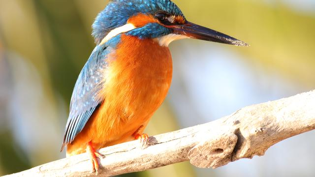Warme winter goed voor wintergevoelige vogels