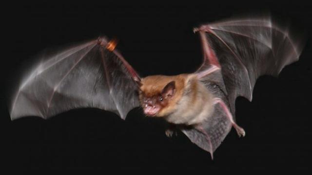 Vleermuizen claimen hun prooi met ultrasone roep