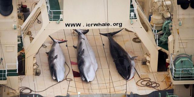 'Walvisjacht Japan wordt voortgezet'
