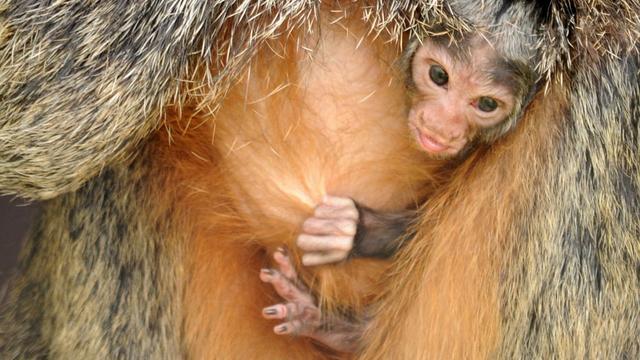 Zeldzaam aapje geboren in dierentuin Kerkrade