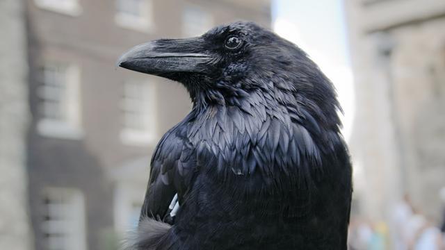 'Raven zijn even slim als chimpansees'