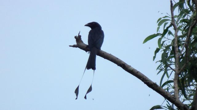 Afrikaanse vogel imiteert alarmkreten van andere dieren