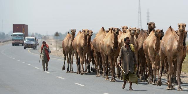 Ontsnapte kamelen steken zebrapad over in Stolberg