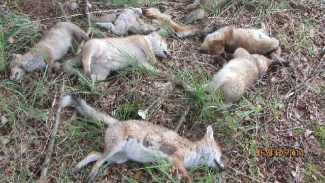 Dode jonge vossen mogelijk vergiftigd