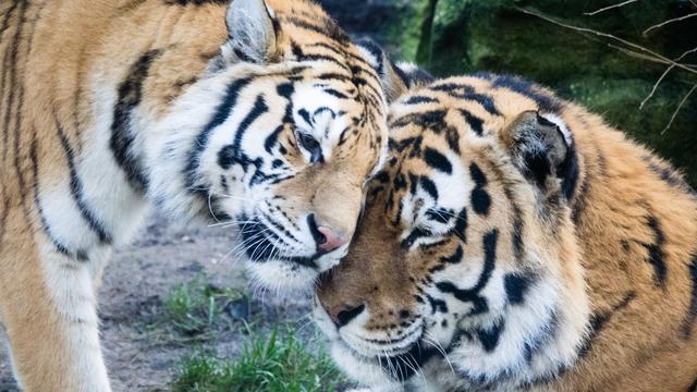 Tijgerwelpjes en giraffe geboren in dierenparken