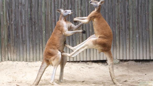 Weer kleine kangoeroes gestolen in Twente