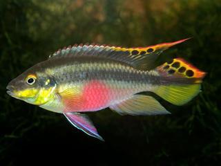 'Vissen die onthouden waar voedsel wordt gevonden, hebben een evolutionair voordeel'