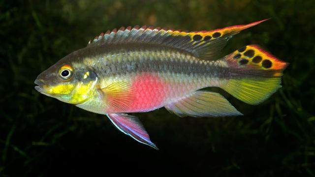 'Bekende aquariumvis heeft geheugen van twaalf dagen'