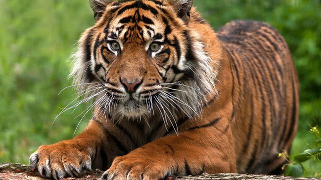 Man in kooi wilde 'een zijn met tijger'