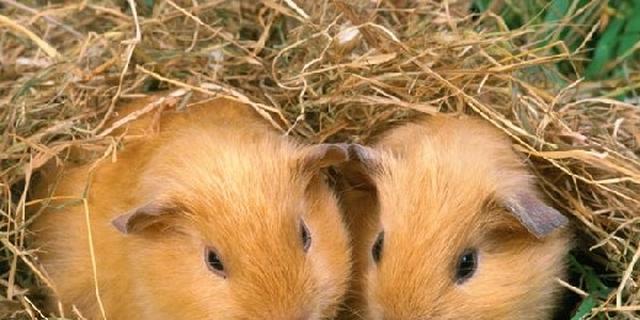 Recordaantal dieren ingeschreven voor kleindierententoonstelling