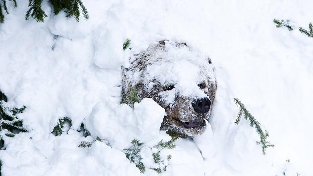 Winterslaapeiwitten ook gevonden in dieren zonder winterslaap