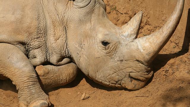 Stropers doden neushoorn in dierentuin in Franse Thoiry