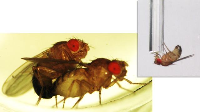 'Mannelijke fruitvliegjes kunnen lange tijd zonder slaap na seks'