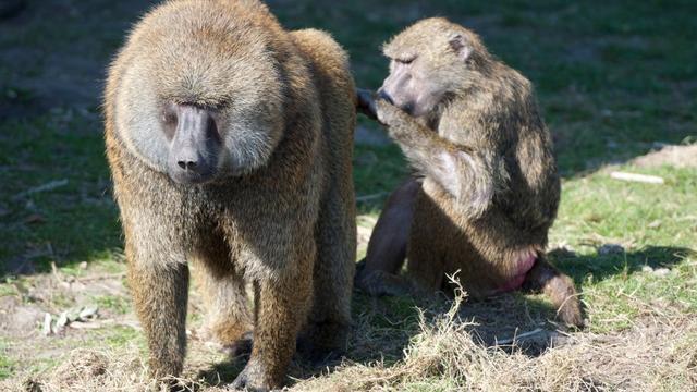 Klanken van bavianen tonen gelijkenissen met spraak van mensen